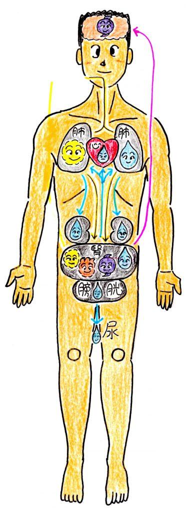 五臓六腑腎の働き